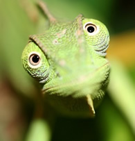 chameleon happy